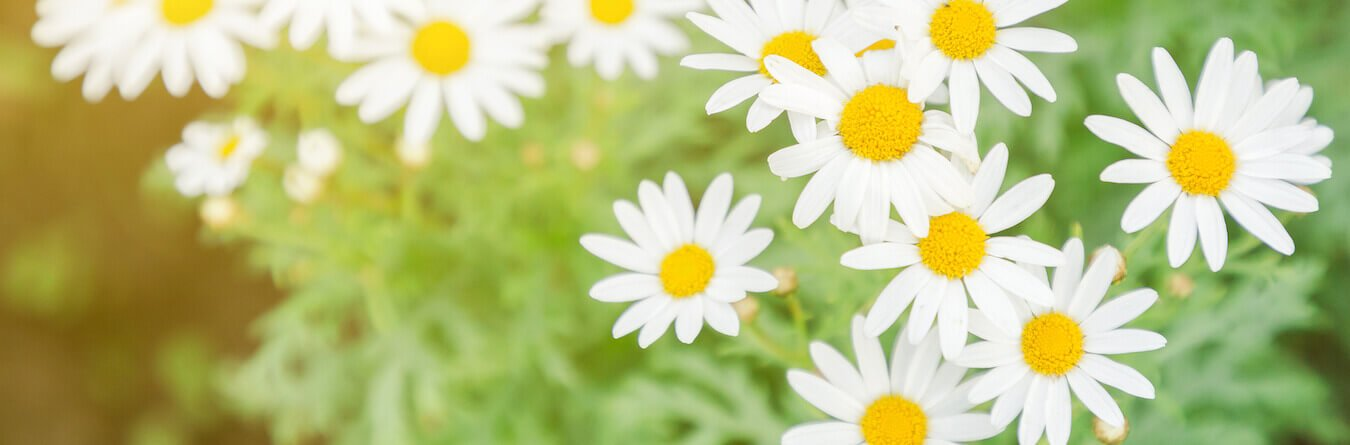 White Daisy Flower.